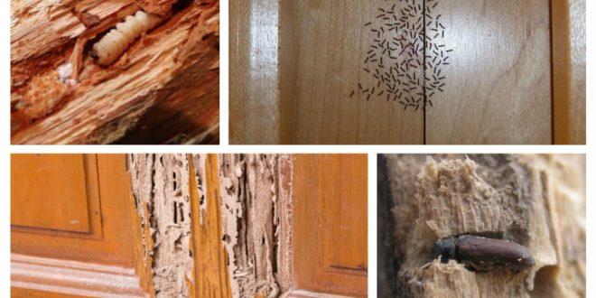 علاج سوس الخشب